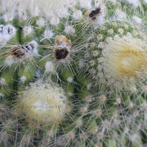 Notocactus Graessneri - Les rejets