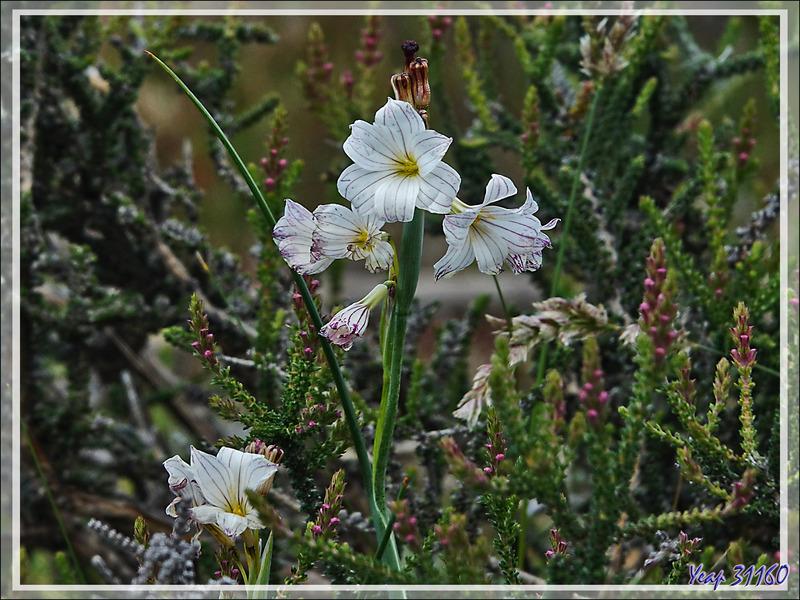 Olsynium strié, Campanilla, Streaked Maiden (Olsynium Biflorum) - Torres del Paine - Patagonie - Chili