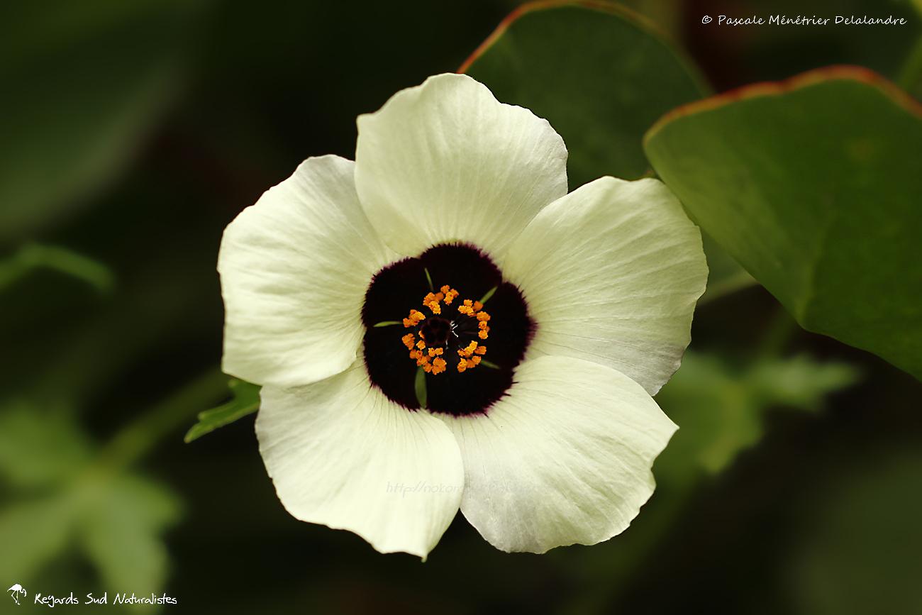 Hibiscus sabdariffa (roselle)