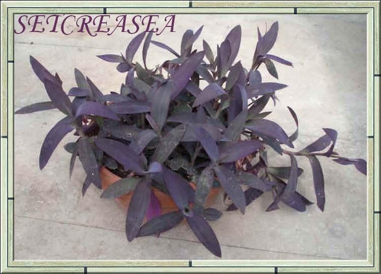 Plantes d'Intérieur : SETCREASEA  et  SIDERASIS