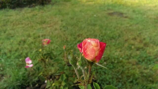Concours International de Roses Nouvelles du Roeulx 2017 - Résultats