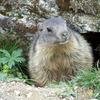 Marmotta1408