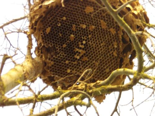 nid de frelon asiatique vue de très prêt
