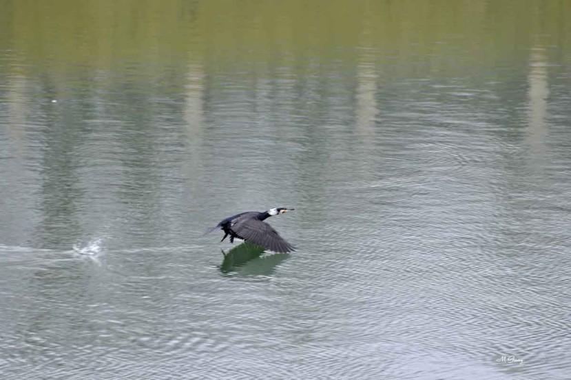 grand-cormoran-en-vol-0710.jpg