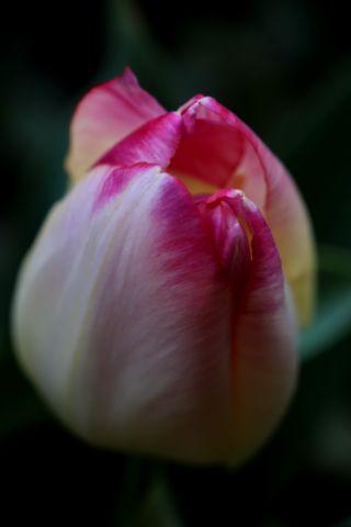Tulipes 2018 : Supri Erotic