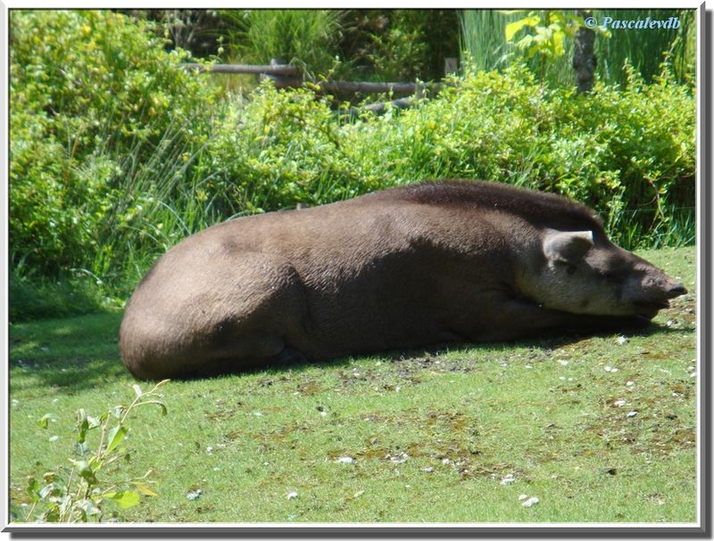 Tapir_terrestre