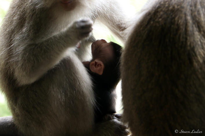 Les singes de la forêt sacrée d'Ubud