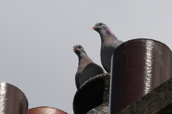Pigeons colombins dans ma cour