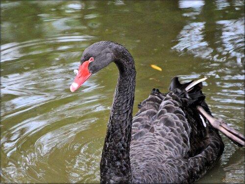 Photo de cygnes noirs du Zoo de Pessac