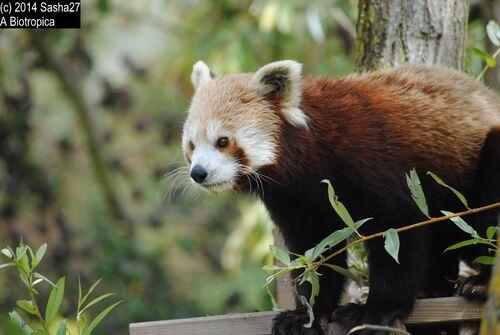 Ying, Panda Roux ♂.