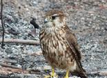 Observation d'une femelle de Faucon émerillon pendant la surveillance busards