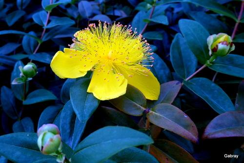Millepertuis aux fleurs jaunes