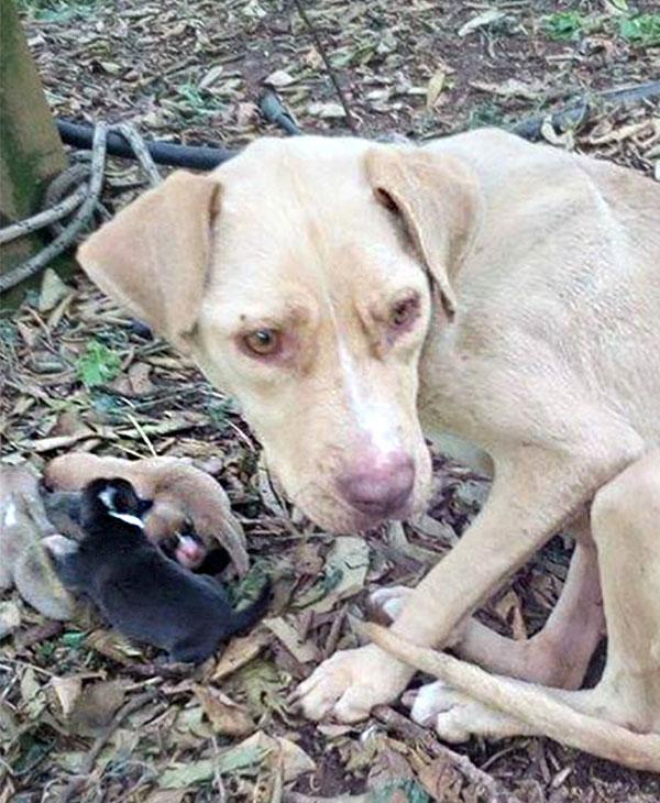 Abandonnée en pleine forêt et attachée à un arbre, cette chienne devait survivre pour ses petits