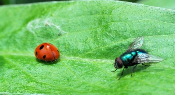 La mouche et la coccinelle