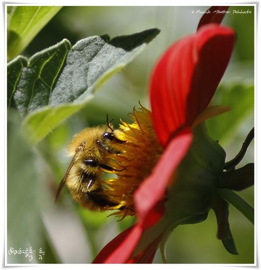 Bourdon Bombus ♀ (Thoracobombus) Pascuorum intermedius