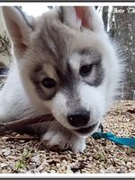 Laïka (2 mois)