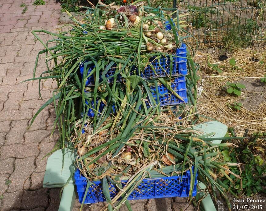 Récolte des oignons