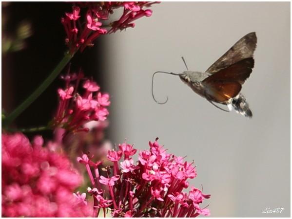 Papillons-1246-moro-sphinx.jpg
