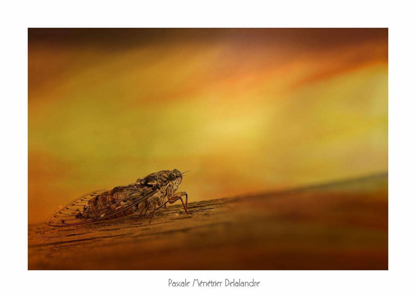 Cigale de l'Orne ou Cigale du Frêne ou... Cigale Méridionale (Cicada orni) où... le chant d'été du sud