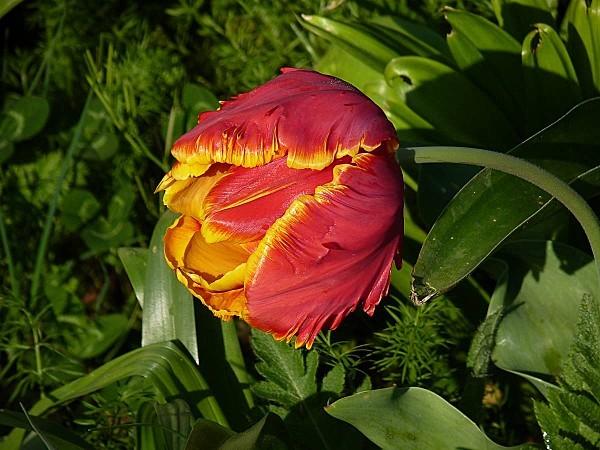 Tulipe perroquet R-J