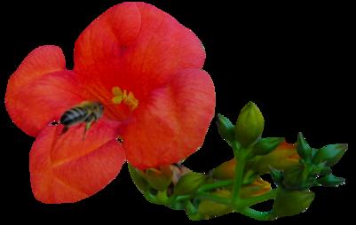 Tube abeille et fleur de Bignonier