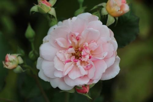 Mon rosier chouchou