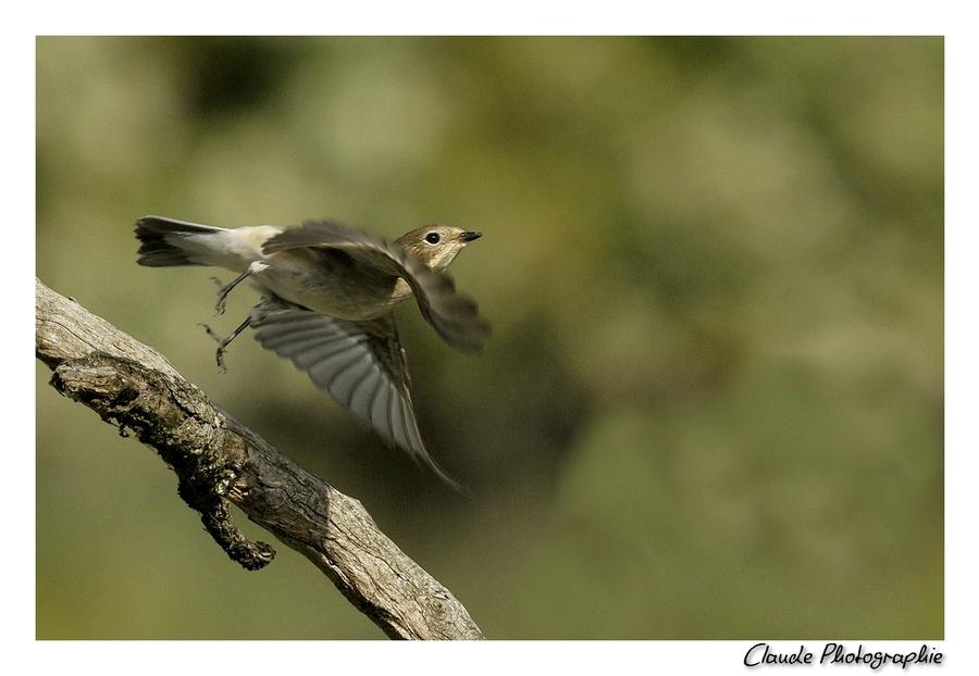 gobe mouche noir femelle