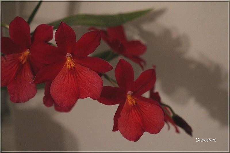L'orchidée cambria refleurit