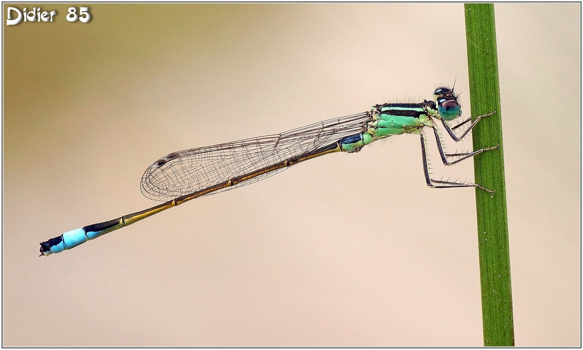 Agrion élégant (3) - Ischnura elegans