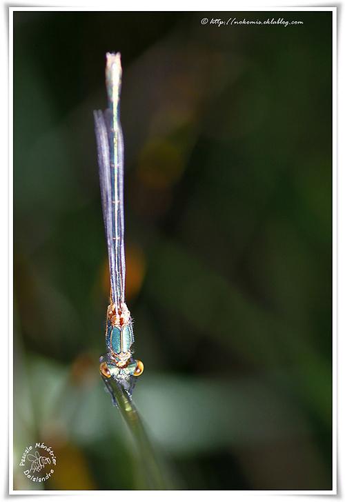 Leste viridis (Leste vert)