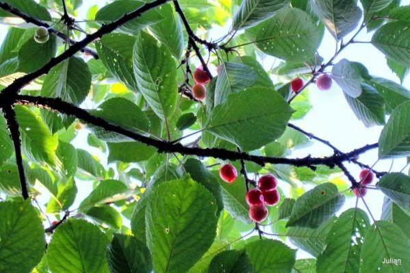 X07 - Branche de cerisier