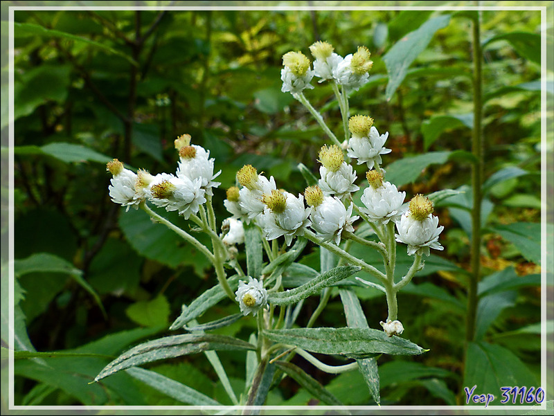 Immortelle blanche, Pearly Everlasting (Anaphalis margaritacea) - Petit Lac Preston - Duhamel - Outaouais - Québec - Canada