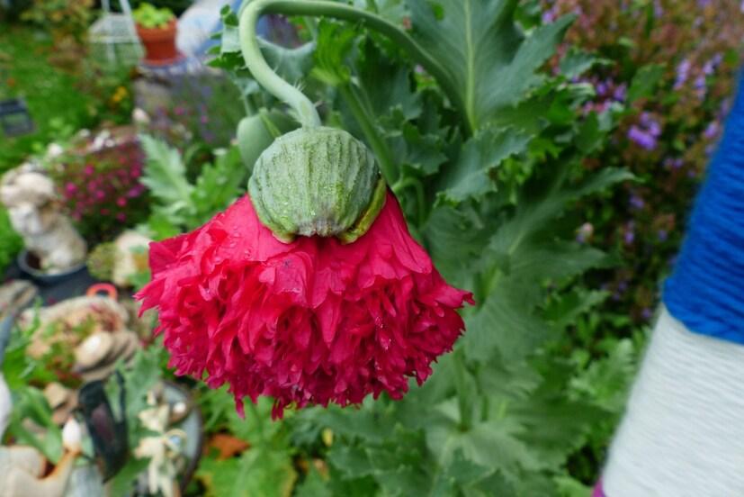 Pavots fleur de pivoine