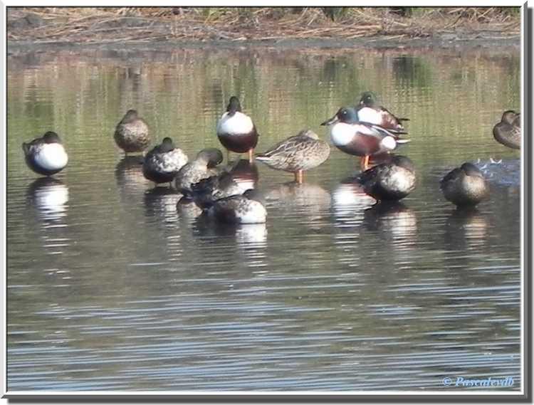 Parc ornithologique du Teich - canards souchets