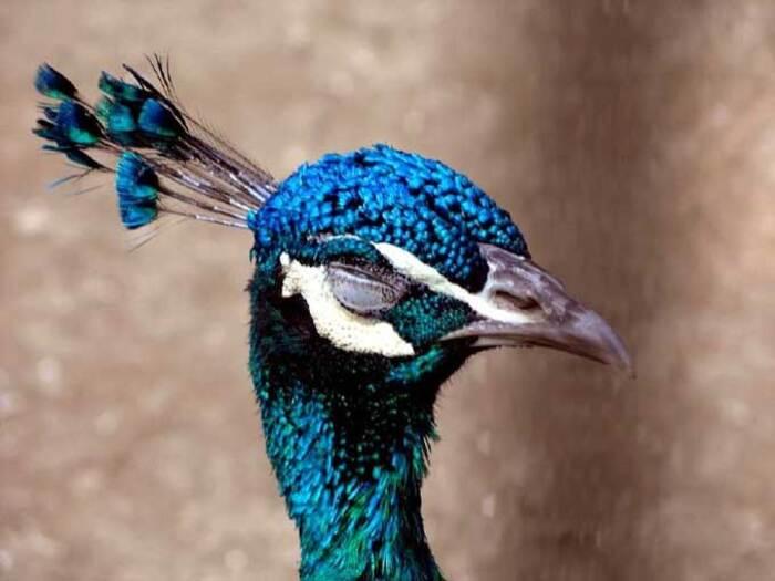 Originaire de l'Inde, le paon bleu (Pavo cristatus) est vénéré depuis des millénaires.