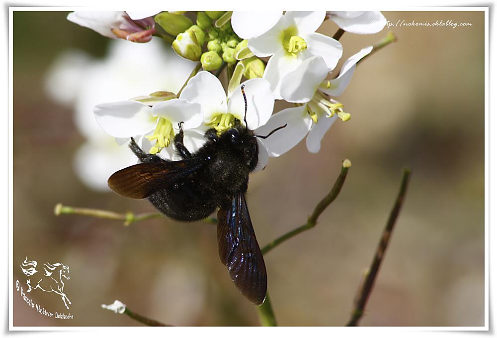 Xylocope violet mâle (Xylocopa violacea) ou Abeille charpentière