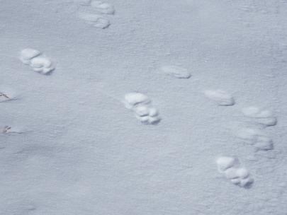 traces de loup