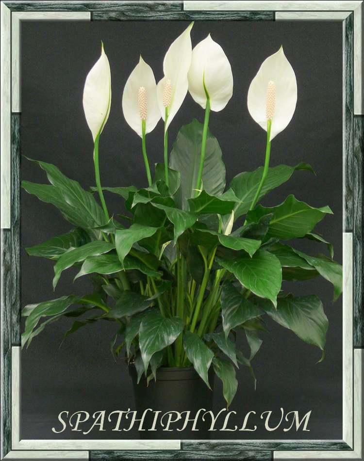 Plantes d'Intérieur : SPATHIPHYLLUM  (Aracées)
