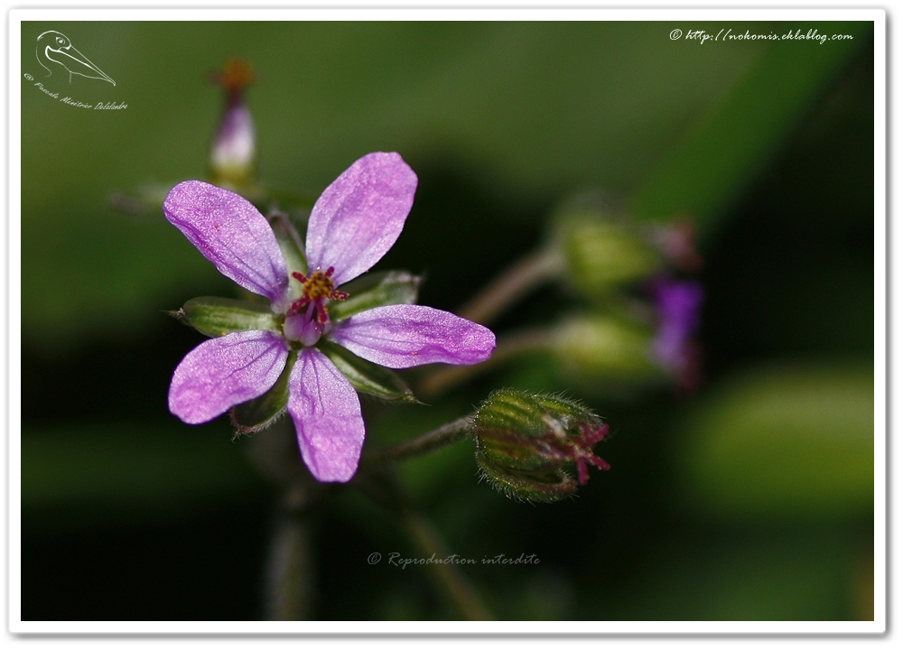 Herbe à Robert ou géranium sauvage