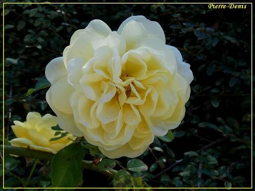quelques roses de pierre.denis
