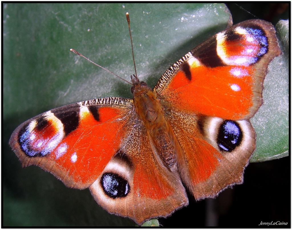 Papillon de Noël