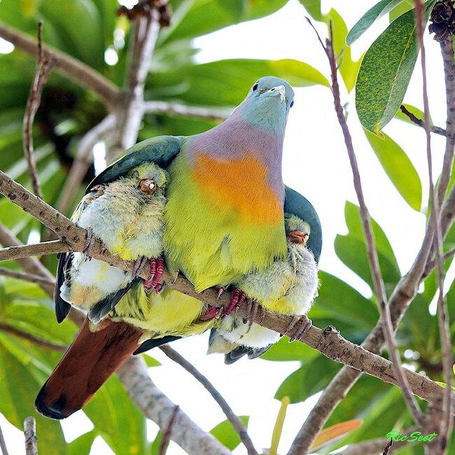 Photos de Famille Pigeonne verte a col rose