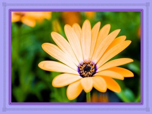 Comme la fleur