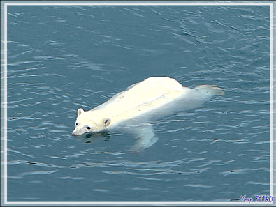 Le second ours blanc (Polar bear) de la journée - Peel Sound - Prince of Wales Island - Nunavut - Canada
