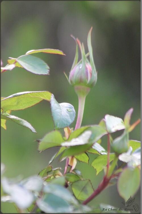 Promesse de belle fleurs...(2) les roses
