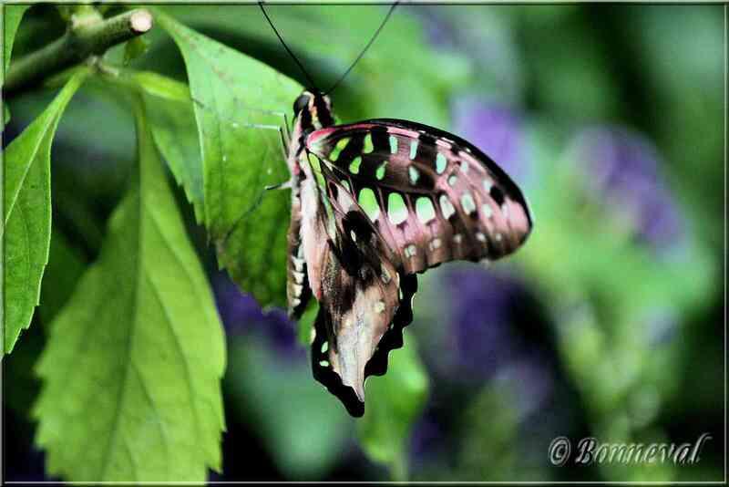 Papillons tropicaux Graphium agamemnon
