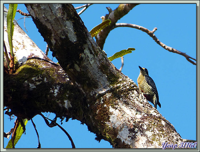 Blog de images-du-pays-des-ours : Images du Pays des Ours (et d'ailleurs ...), Pic de Pucheran (Melanerpes pucherani) - Tortuguero - Costa Rica