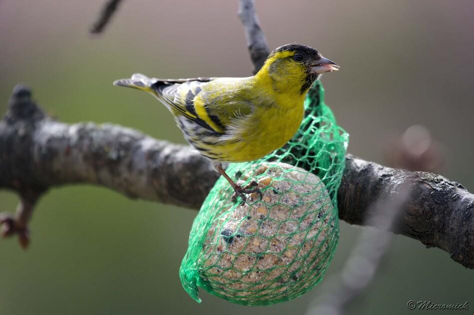 Le mâle est reconnaissable à sa calotte noire et son ventre jaune