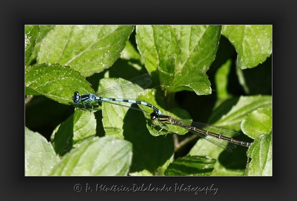 Coenagrion puella - Agrion jouvencelle mâle (bleu) et femelle (brune)