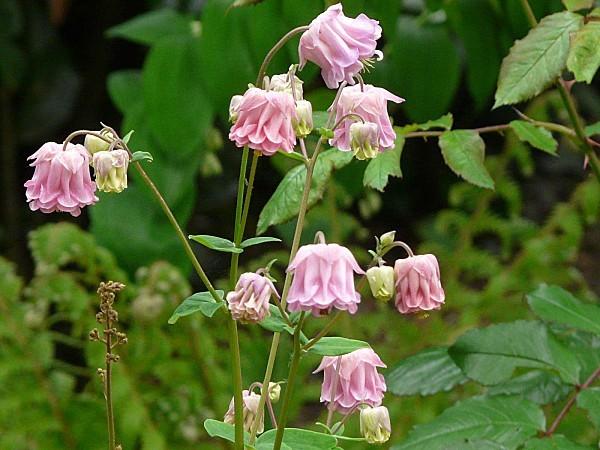 Ancolie-rose-11-05-12-029.jpg